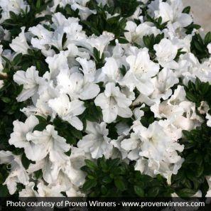 bloom-a-thon-white-azalea-close-up-600x600_1