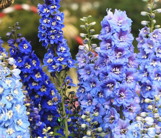 Larkspur-Meaning