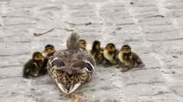 waterfowl-mallard-young-young-duck-159864.jpeg